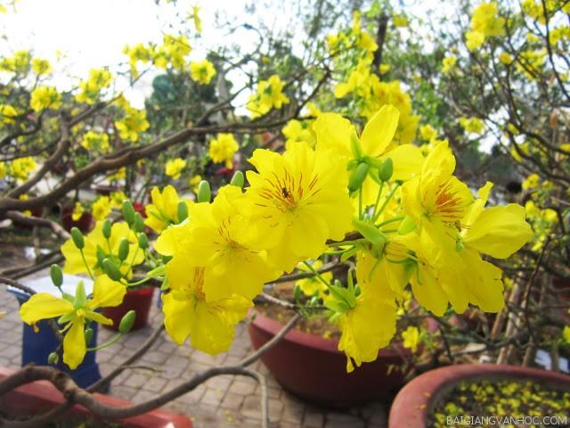 Thuyết minh về cây hoa mai ngày Tết
