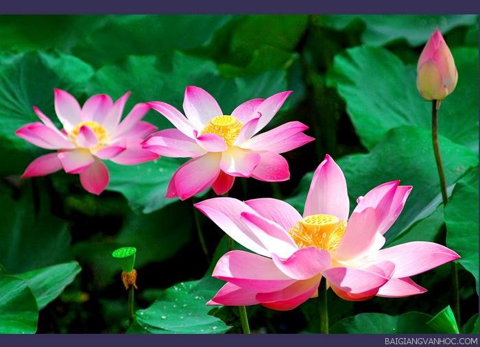 Thuyết minh về hoa sen