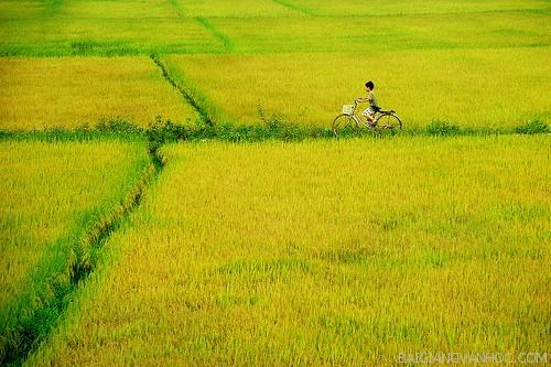 Tả cánh đồng lúa chín quê em