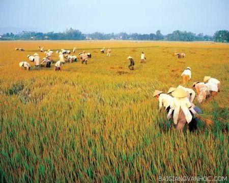 Tả cảnh gặt lúa trên đồng