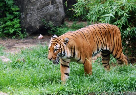 Tả con hổ trong sở thú