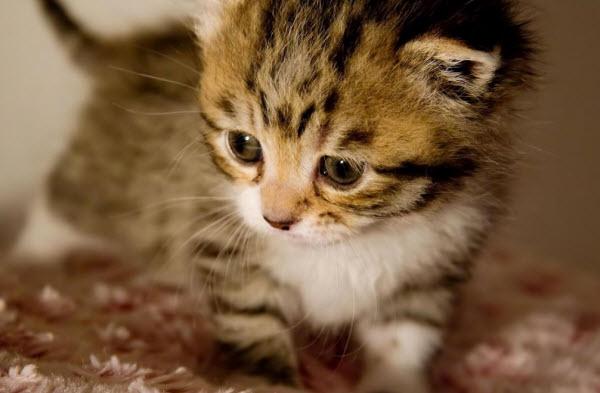 dan y ta con meo lop 4 - Dàn ý tả con mèo nhà em lớp 4