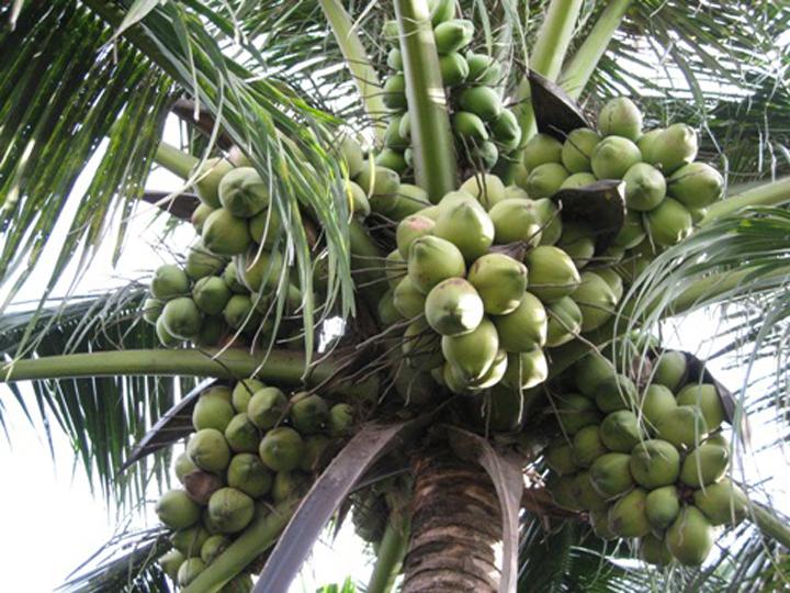 ta cay dua - Tả cây dừa mà em biết