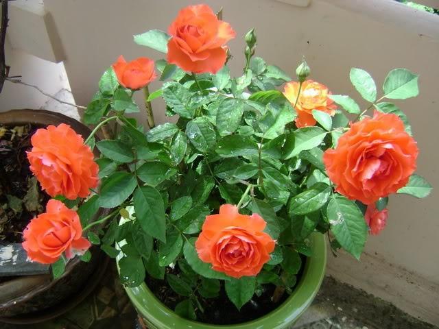 ta cay hoa hong nhung 1 - Tả cây hoa hồng nhung