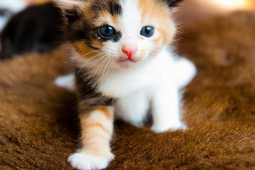 ta con meo tam the - Tả con mèo tam thể mà em biết