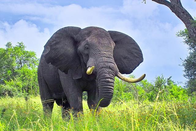 ta con voi lop 4 - Tả con voi mà em từng nhìn thấy lớp 4